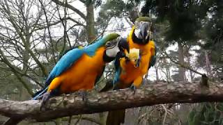 Macaw Mero & Rambo eating (RIP Rambo shot down by a hunter))