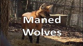 Maned Wolf (Endangered Wolf Center)