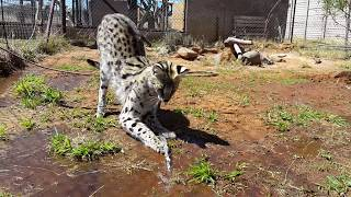 Vega the serval investigating where the water is coming from! | Cheetah Experience South Africa