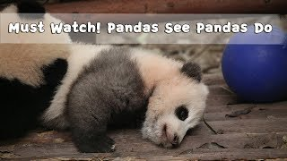Must Watch 3 ! Pandas See Pandas Do | iPanda