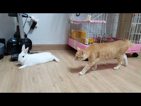 , title : '(ENG) 고양이가 토끼 잡아먹지 않나요?? 고양이와 토끼가 같이 살면 생기는 일. (누군가에겐 조마조마할 이 영상)'