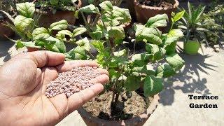 Jasmine Plant Fertilizer: When And How To Fertilize Jasmine./मोगरे के लिए सबसे बेहतरीन खाद