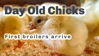 CARING FOR DAY OLD BROILER CHICKS