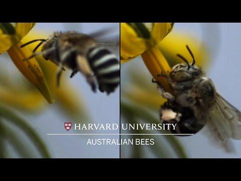 Head-banging bees