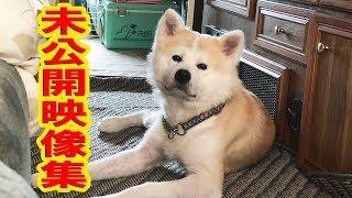 未公開映像・秋田犬・シェパード犬German Shepherd Dog・JAPANESEAKITA