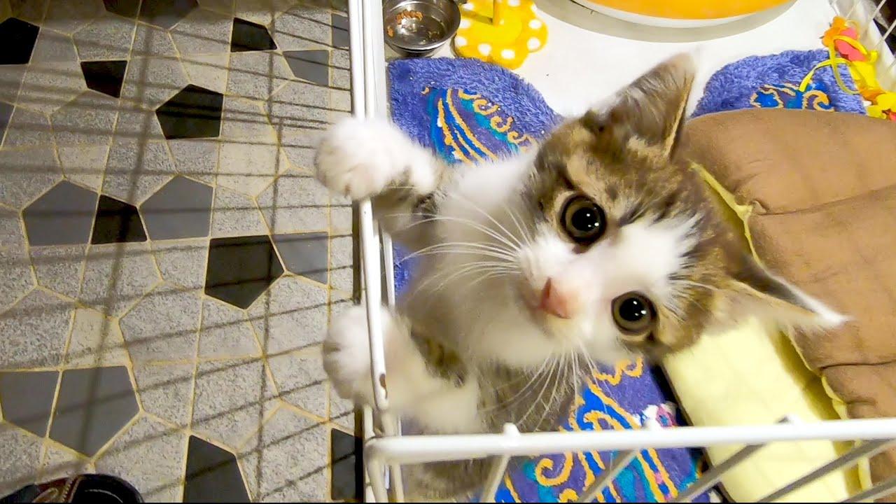 ケージから脱走するも犬に行く手を阻まれる子猫 #猫 #cat #子猫 #ケージ #脱走 #行く手