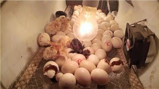Chicken Eggs Hatching // How Chick Hatch?? //  Chicken Egg Hatching // how to hatch eggs at home