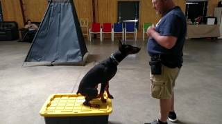 """Early Obedience Training W/""""Jet"""" 5 Mo Doberman Puppy BAB Participant"""