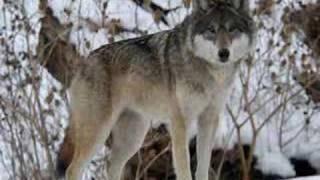 Волки и Оборотни, Грустное видео о волкках