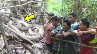 Video Viral King Kobra Disebut Tak Pindah Selama 4 Tahun di Kalteng, Tak Menyerang Meski Ramai Warga