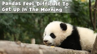Pandas Feel Difficult To Get Up In The Morning | iPanda