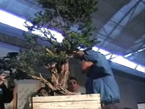 Video kỹ thuật tạo hình bonsai của Masahiko Kimura P1