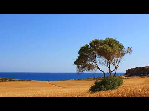 Green tree on a wheat field near the sea. Cyprus. Зелёное дерево на пшеничном поле рядом с морем. Кипр.