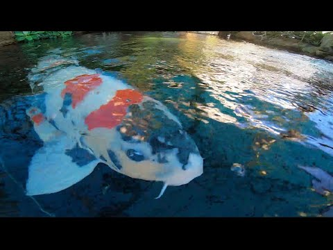 Độc đáo hồ cá Koi trị giá hàng tỷ đồng trên sân thượng của đại gia Sài thành I VTC News