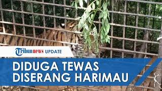 Dikabarkan Menghilang, Pria di Sumut Ditemukan Tewas Diduga Tercabik Harimau