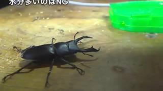【虫】クワガタ:Kool【実況】