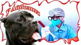 Собака Кане Корсо Деррек в ветеринарной поликлинике. #canecorso