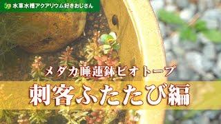 メダカ睡蓮鉢ビオトープ9