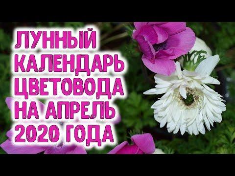 Лунный календарь цветовода на апрель 2020 года. Когда садить ирисы, пионы, лилии, гладиолусы, хризан