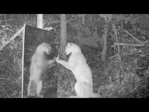 Зоологи установили зеркало в лесу и засняли реакцию зверей на свое отражение