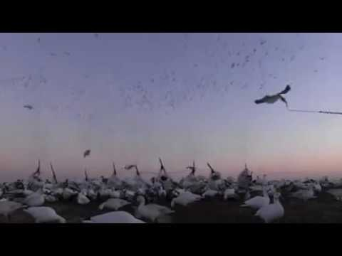 the-sickest-snow-goose-hunt-video-ever