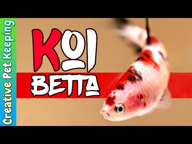 Betta Fish | Red Koi cellophane hmpk (halfmoon plakat)