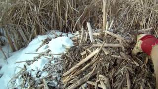 Ловля ондатры зимой на хатках