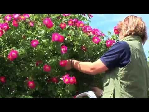 Gestaltungsmöglichkeiten: Rosenbögen Garten