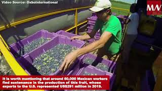 Mexico begins the defence of blueberry exports to the United States