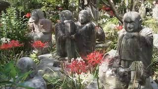 大和市・常泉寺の彼岸花ヒガンバナ曼珠沙華