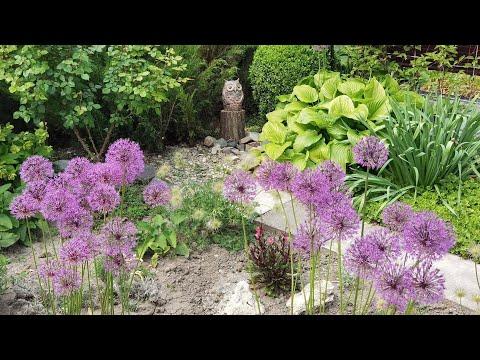 18.05.2021.Фиолетовый сад, цветёт лук, герани, шалфей, горец, ирис злаковидный. Сказка продолжается.