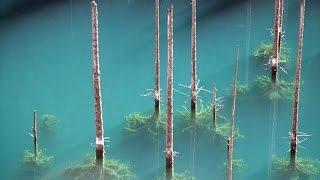ПОДВОДНЫЙ ЛЕС. Озеро Каинды, Казахстан.