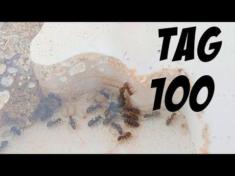 Ameisenfarm Tag #100'Nachwuchs!' - Besuch in der Kolonie ...