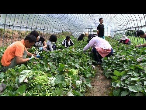 種子島の学校活動:安納小学校PTA安納芋の苗切り作業2018年