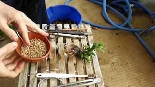 クチナシ2号植替2017年5月3week_BONSAI盆栽