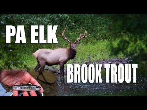 Pennsylvania Elk and Brook trout: mountain stream fly fishing