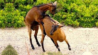 Приколы! Как осел козу катал
