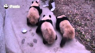 Being A Panda Keeper Is Not That Easy Its A Battle Of Wits