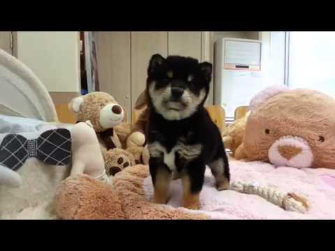 Shiba inu boy puppy waiting for you to do sth :