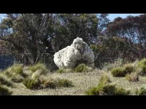 , title : 'Overgrown Australian Merino sheep Chris 'breaks Wool world record'