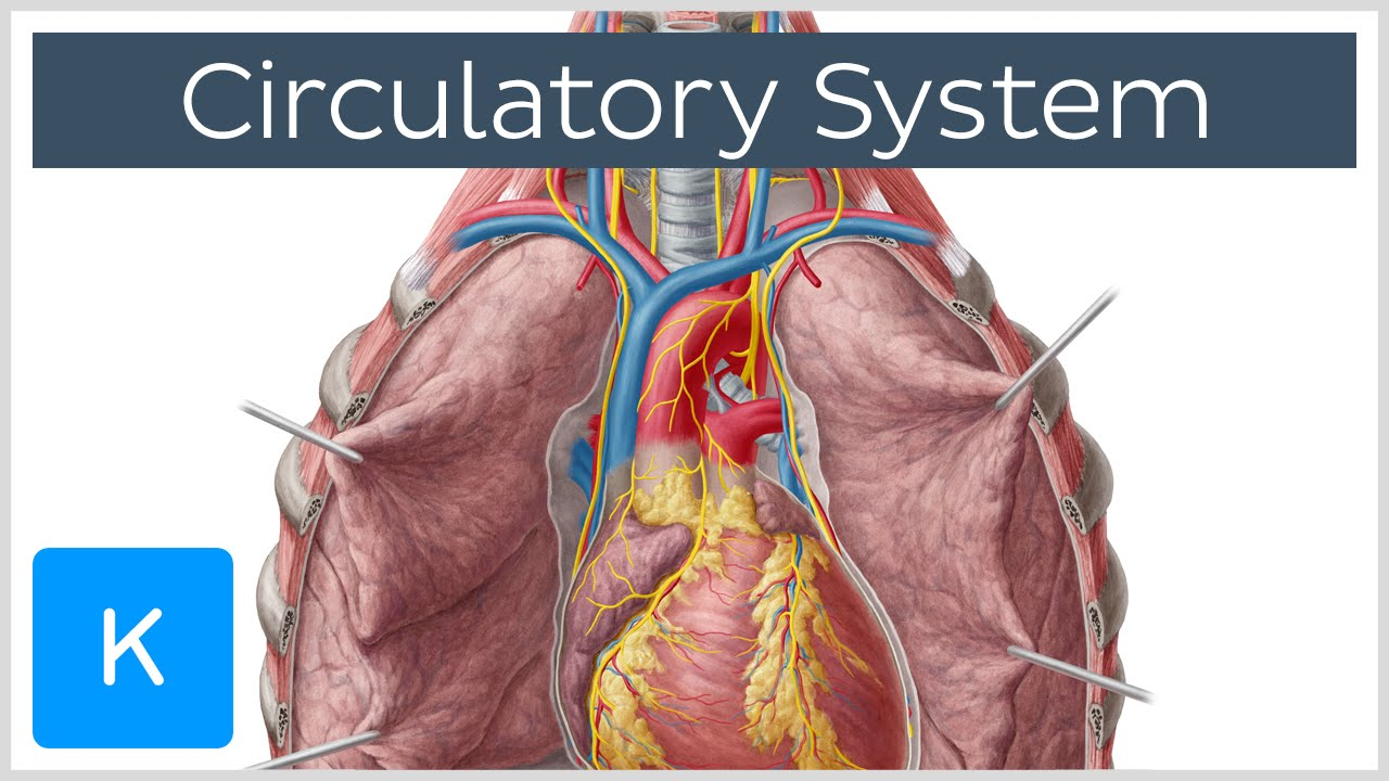 circulatory system definition - 1280×720