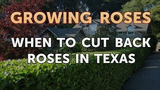 When to Cut Back Roses in Texas