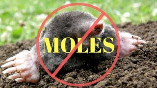 How to kill Moles in the Garden or Yard