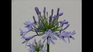 我が家の愛しい花たち!アガパンサス