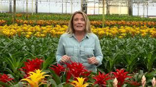 Kent's Bromeliads - How To Care for Bromeliads