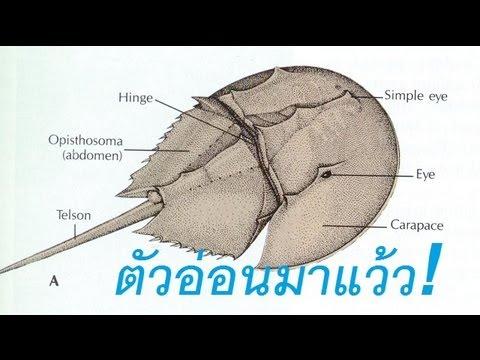 การรักษา Giardia โครงการ albendazole