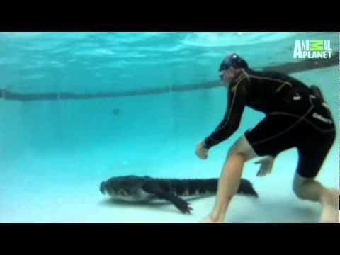 איך מוציאים תנין שפולש לבריכת שחייה?