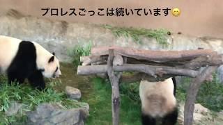 パンダPANDA仲良し双子🐼桜🌸桃🍑プロレスごっこ楽すぃ〜ww🎶