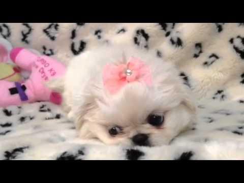 Adorable & Fluffy Pekingnese Puppy !!