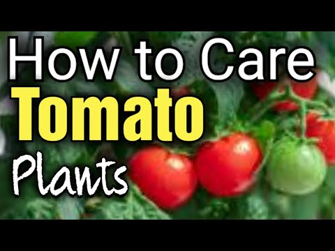 How to Grow and Care for Gardeners Delight and Alicante Tomatoes |Gardening for Beginners